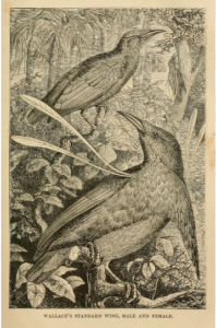 Wallace's Standardwing from 'The Malay Arhipelago'